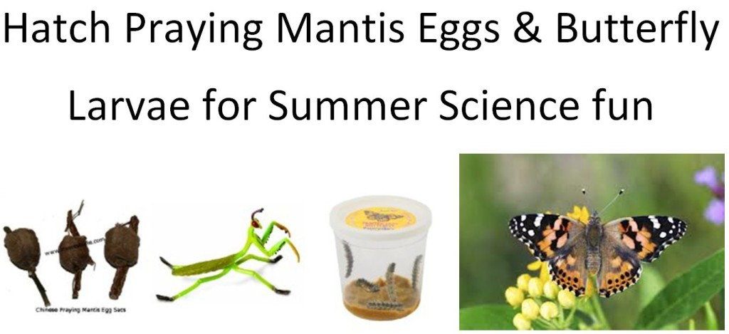 HOw to hatch praying mantis eggs and Butterfly larvae, free butterfly coloring page