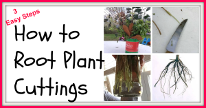 How to Root Plant Cuttings   '