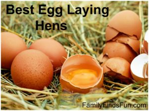 Best Egg Laying Hens